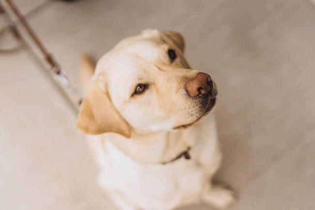 Sutter the Guide Dog